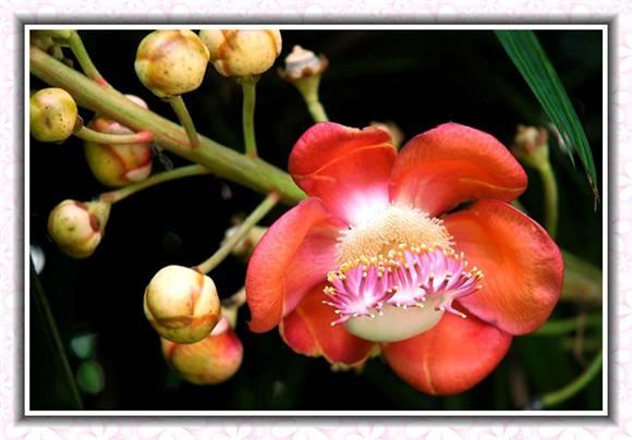 菩提树花产地