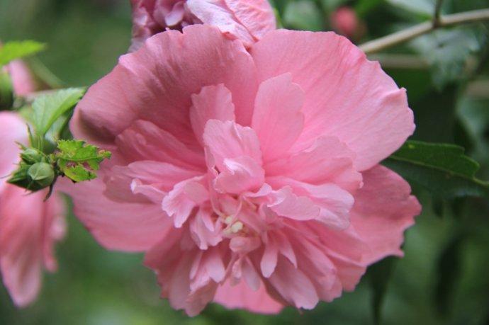 木槿花产地