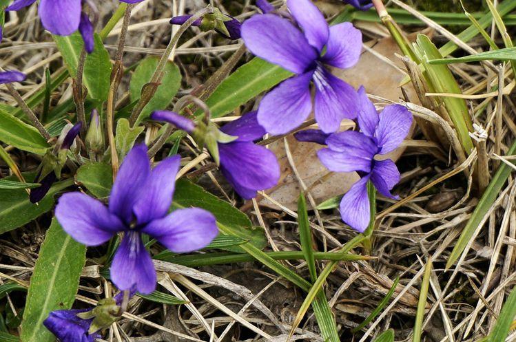紫花地丁产地