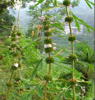 益母草的副作用
