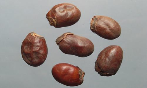 荔枝核的副作用