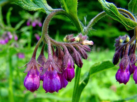 紫草的副作用