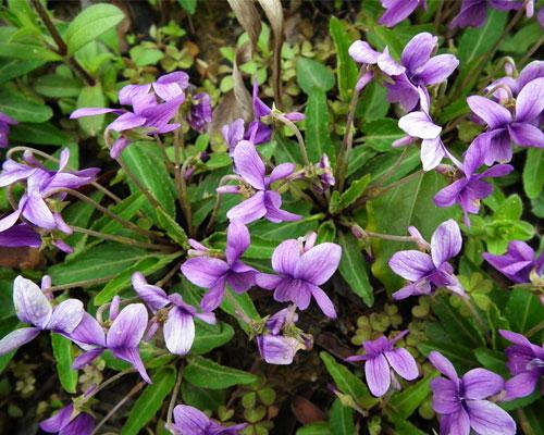 紫花地丁的副作用