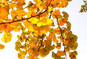 银杏叶的功能与主治