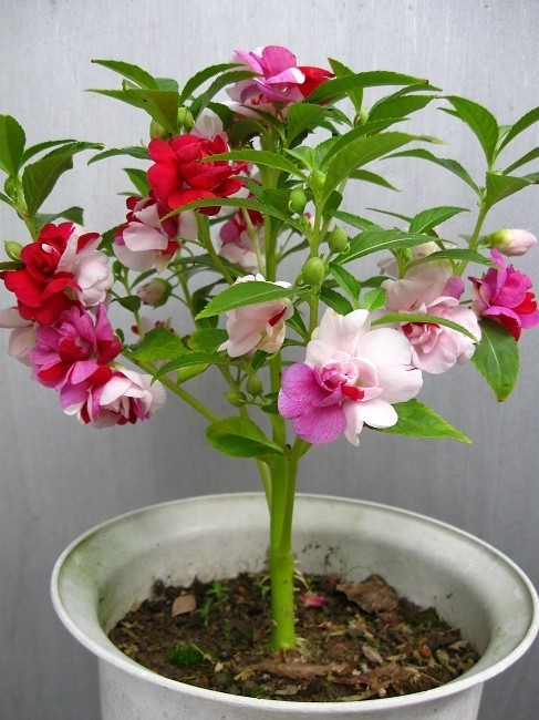 凤仙花的功能与主治
