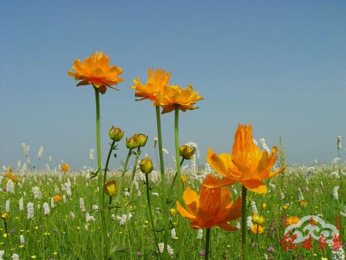 金莲花的功能与主治