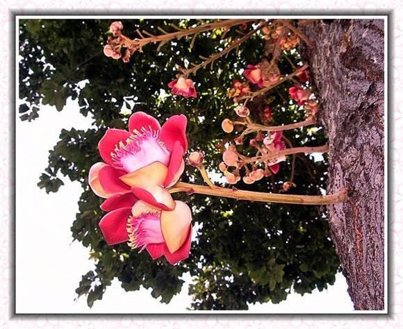 菩提树花的功效与作用