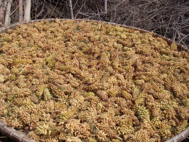 松花粉的功能与主治
