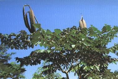木蝴蝶的功能与主治