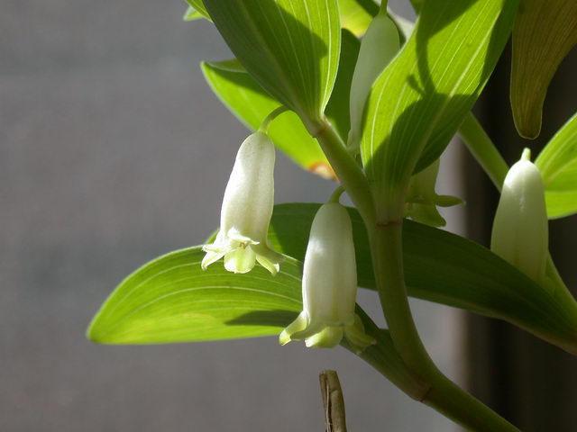 玉竹的功能与主治