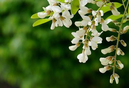槐花的药用价值