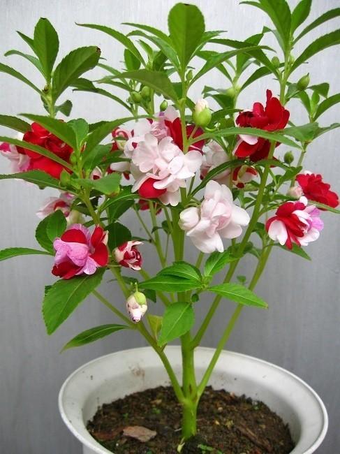 凤仙花的功效与作用及食用方法 中药易