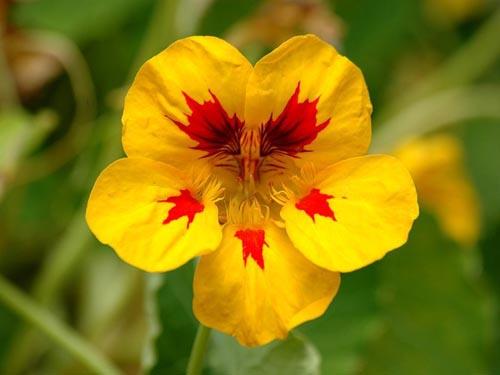 金莲花的药用价值