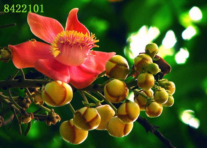 菩提树花的药用价值