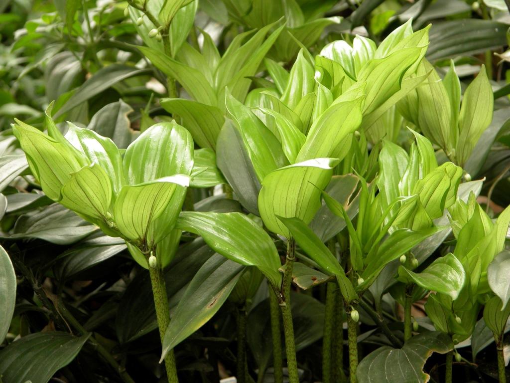 玉竹的药用价值
