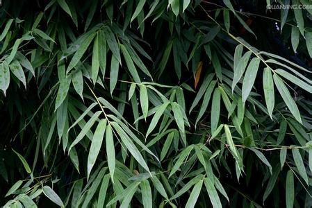 竹叶的食用方法