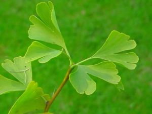 银杏叶的功效与作用及食用方法 中药易