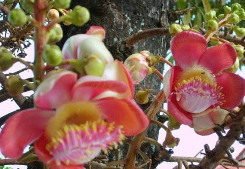 菩提树花的食用方法