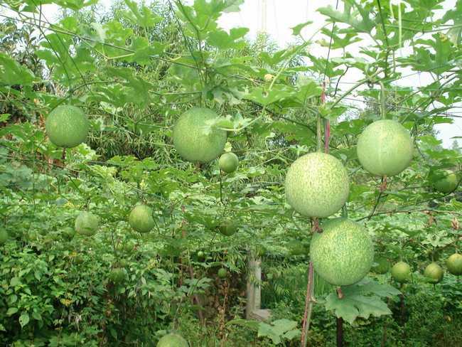 瓜蒌的食用方法