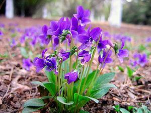 紫花地丁的食用方法