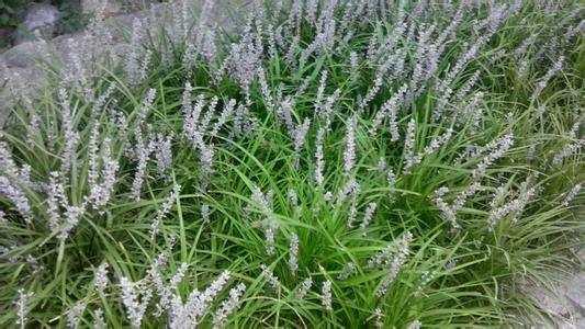 麦冬苗的图片