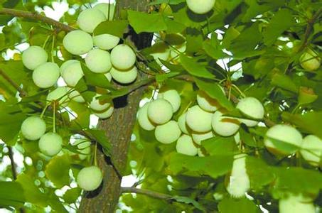 银杏果树的图片