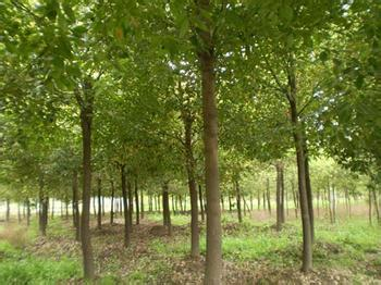 杜仲树的图片