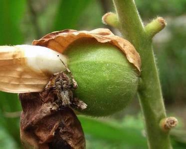 豆蔻果的图片