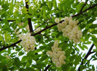 鲜槐花的图片