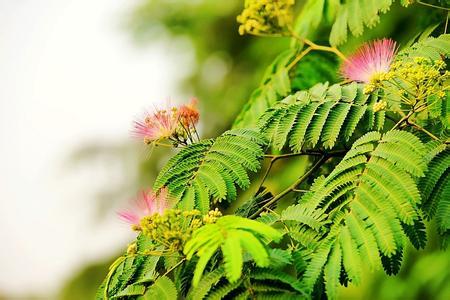 合欢花树的图片