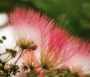 鲜合欢花的图片