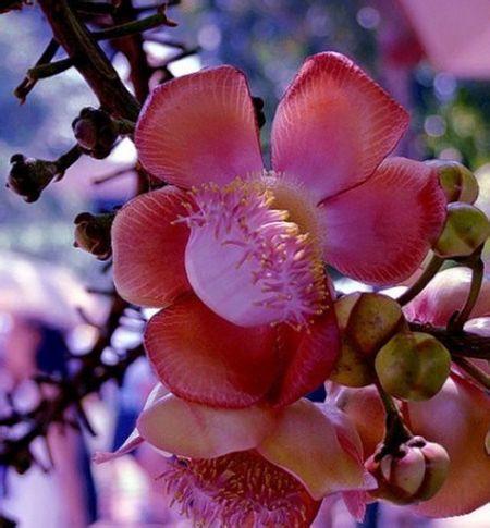 菩提树花图片