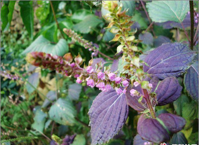 紫苏子图片