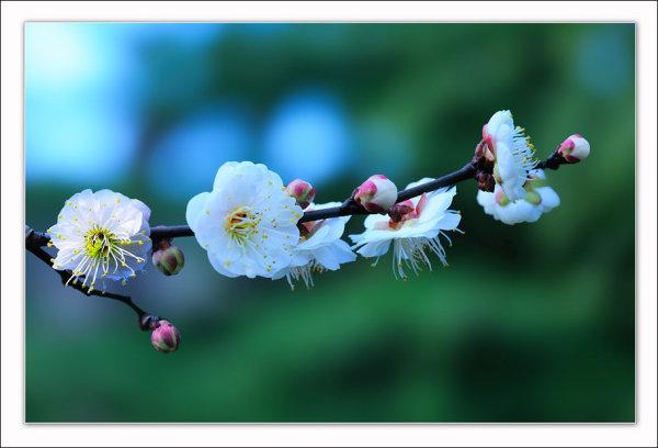 白梅花图片