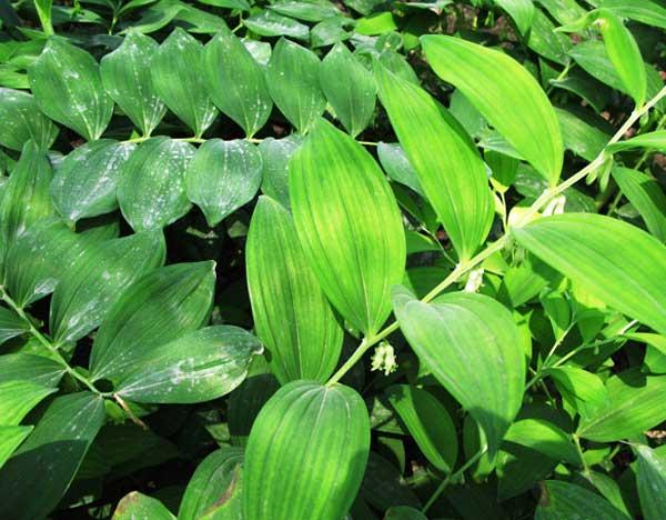 鲜玉竹图片