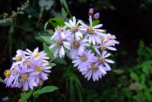 生紫菀图片