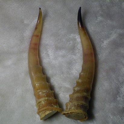 中药材羚羊角图片