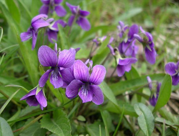紫花地丁图片